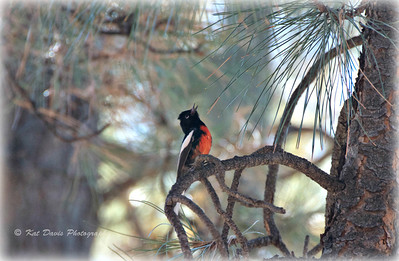 December Painted Redstart