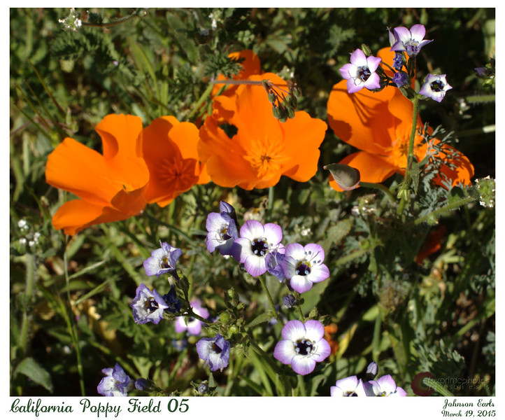 California Poppy Fields 05<br /> <br /> California Poppies and Broad-Leaved Gilia.<br /> <br /> Western Antelope Valley, California, 19 March 2015