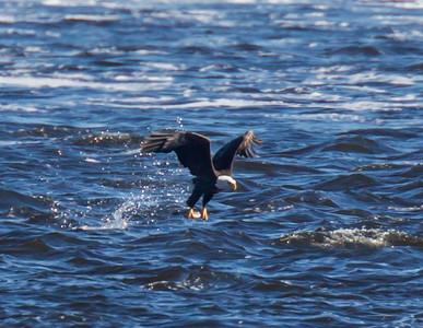 Lock & Dam 14 Eagles