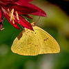201509264 CCC yellowbutterfly-moon-catfish