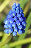 Muscari Hyacinth - 28 April 2016