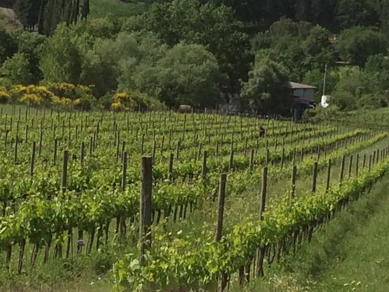 Brunello vineyard, one of hundreds around Montalcino