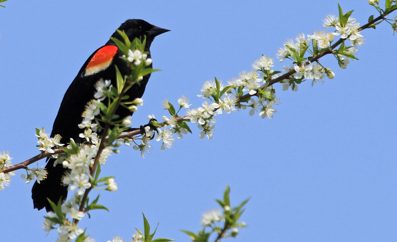 Red-winged Blackbird - Magic Hedge, Chicago