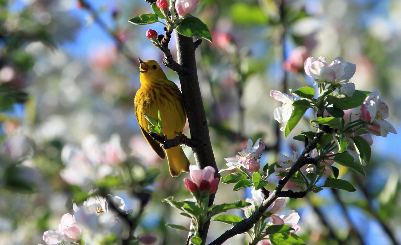 Yellow Warbler - Magic Hedge, Chicago