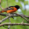Baltimore Oriole - Magee Marsh