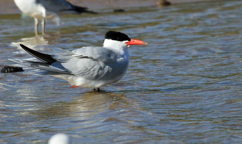 Caspian Tern - Montrose Point, Chicago