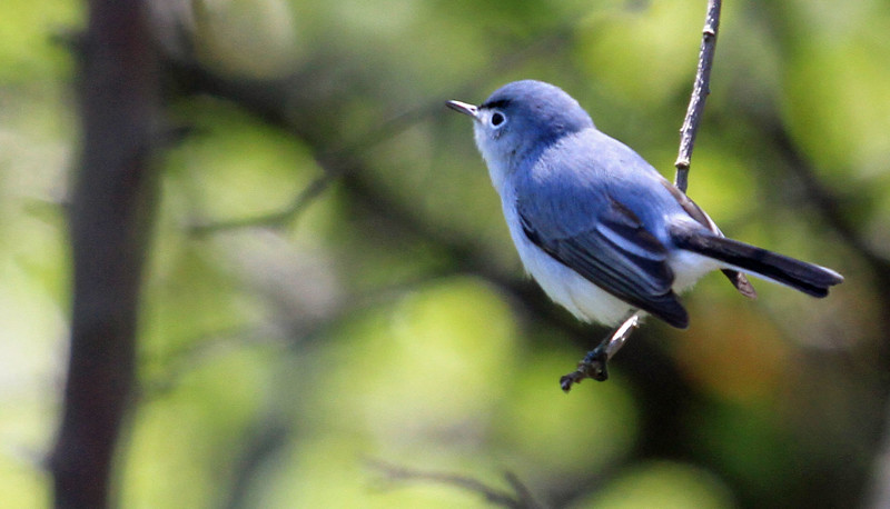 Blue-gray Gnatcatcher - Magic Hedge, Chicago