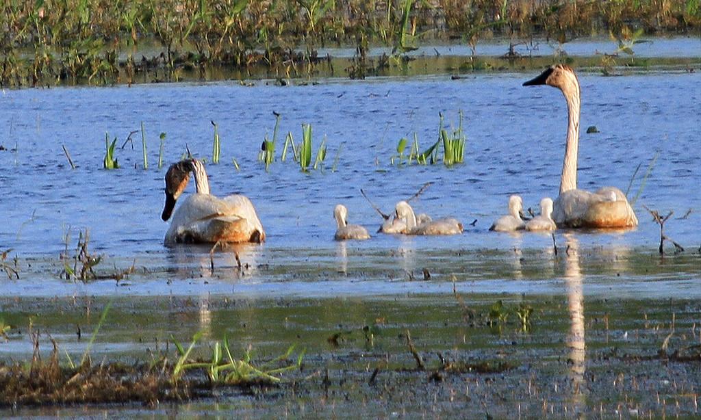 Tundra Swan - Magee Wildlife Area Pool #1