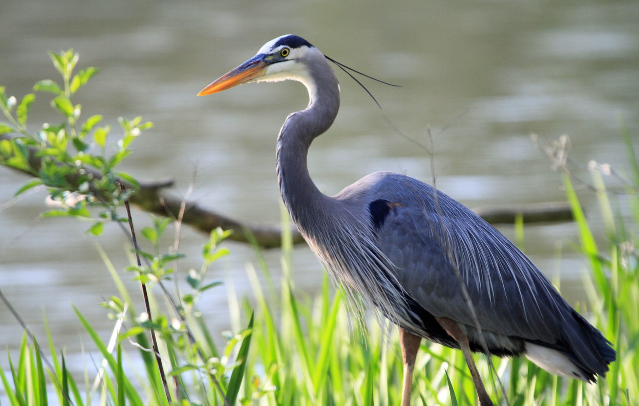 Great Blue Heron - North Pond, Chicago
