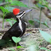 Pileated Woodpecker - Female