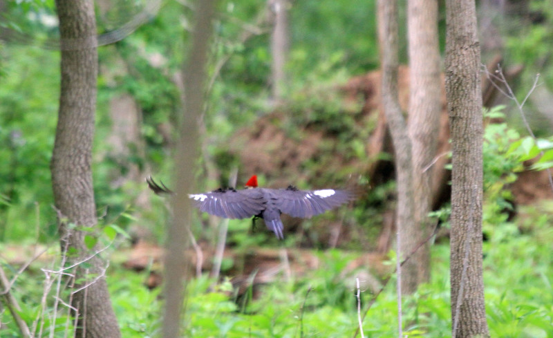 Pileated Woodpecker - Wingspan 29 inches