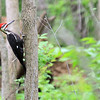Pileated Woodpecker - Male, McClaughrey Spring, Palos Area, IL