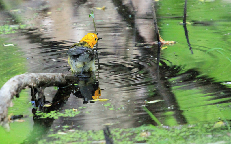 Prothonotary Warbler - Bathing at Magee Marsh