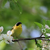 Common Yellowthroat - Magic Hedge, Chicago