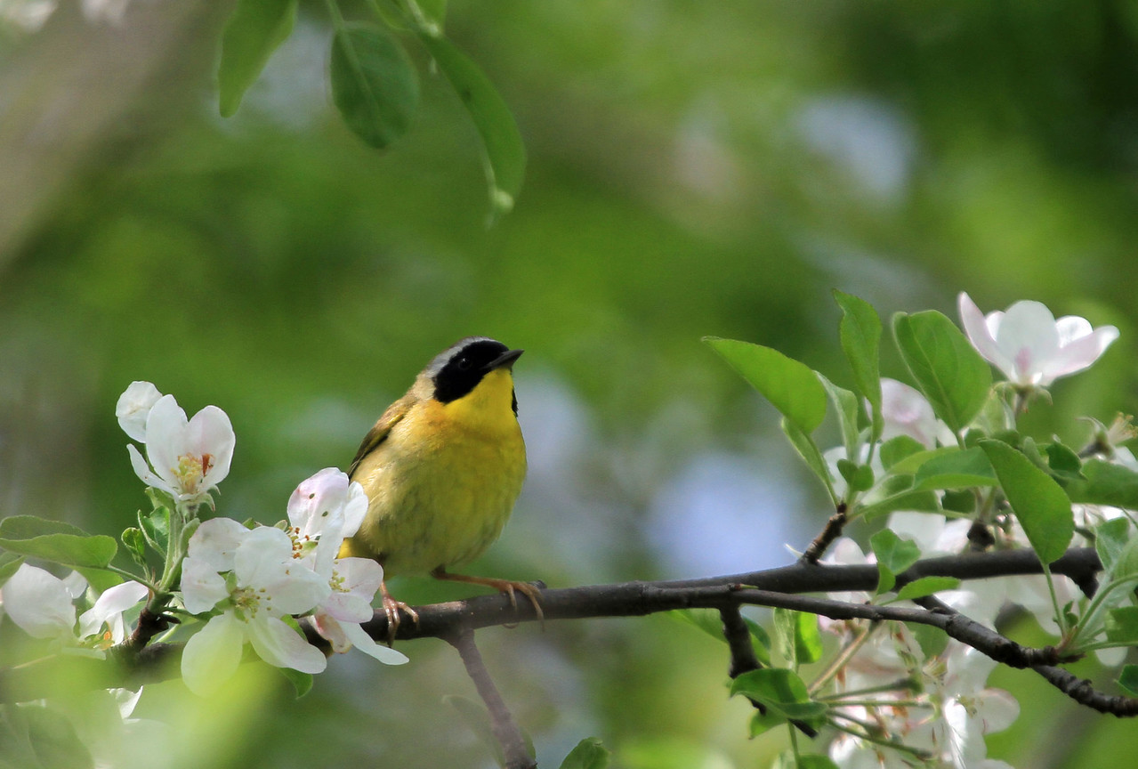 Common Yellowthroat - Magic Hedge, Chicago