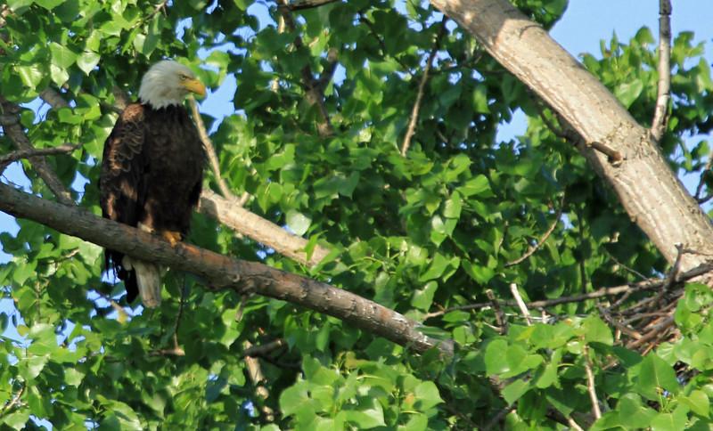 Bald Eagle  on Nest Watch - Magee Marsh, Ohio