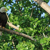 Bald Eagle  on Nest Watch - Magee Marsh, Ohio
