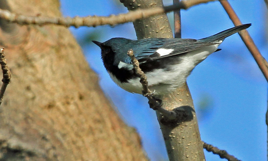 Black-throated Blue Warbler - Magic Hedge, Chicago