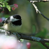 Black-capped Chickadee - Magic Hedge, Chicago