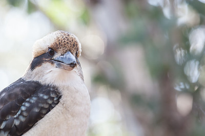 Kookaburra at Mount Buffalo