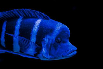 Blue Kitumba Moba