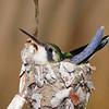 01-03 Hummingbird @ Roatan, Honduras