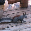 Mar 2, 2016  Tassel-Eared Squirrel at the cabin