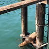 Sea Lion ready to jump in