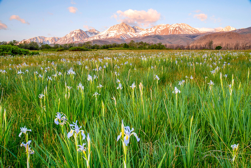 Iris Field, Baker Creek, CA