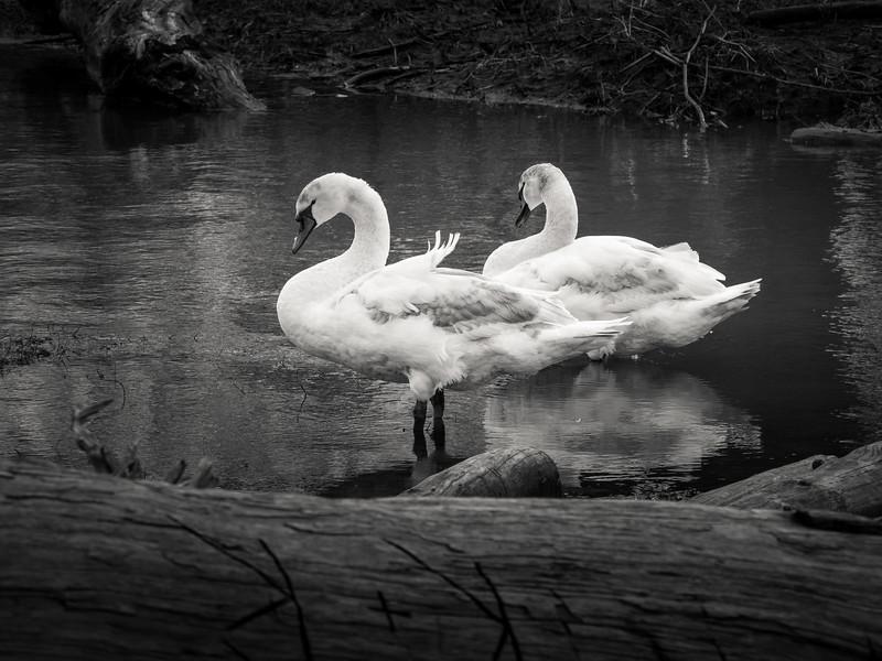 Swan Slough