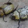 Eastern Hercules Beetle (Dynastes tityus) Male and Female