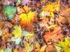 Leaves at Fyvie