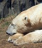 Polar Bear enjoys the chilly sunshine in Chicago Zoo