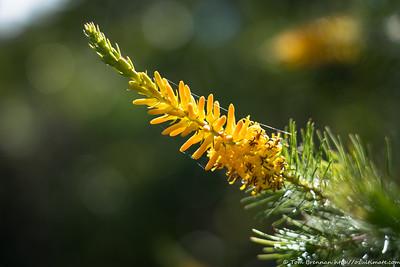 Persoonia pinifolia (Pine-leaf Geebung)?
