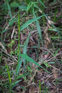 Mystery grass 8 (Entolasia marginata?)