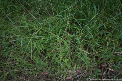 Mystery grass 5 (Digitalia sp)?