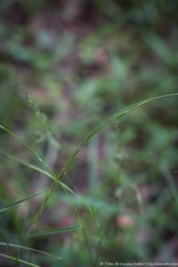 Mystery grass 10 (Microlaena stipoides?)