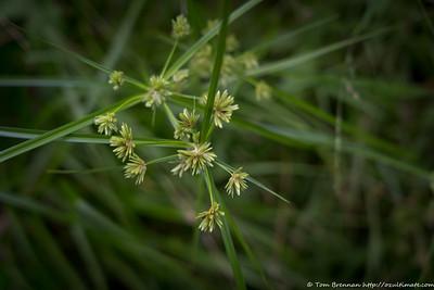 Mystery Plant 2 (Cyperus polystachyos/Bunchy Sedge)?