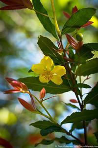 Ochna serrulata (weed), Flat Rock Drive, Northbridge