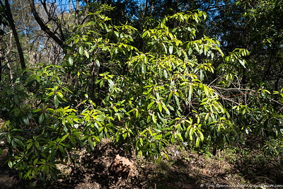 Pittosporum undulatum, Flat Rock Drive, Northbridge