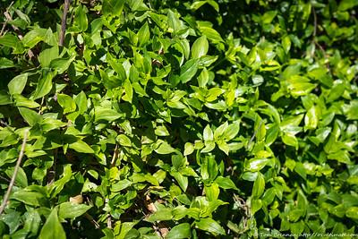 Tradescantia fluminensis (weed), Flat Rock Drive, Northbridge