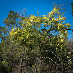 Acacia linifolia, Flat Rock Drive, Northbridge