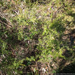 Leucopogon juniperinus, Flat Rock Drive, Northbridge