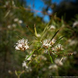 Grevillea linearifolia, Flat Rock Drive, Northbridge