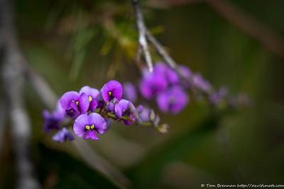 Hardenbergia violacea, Flat Rock Drive, Northbridge