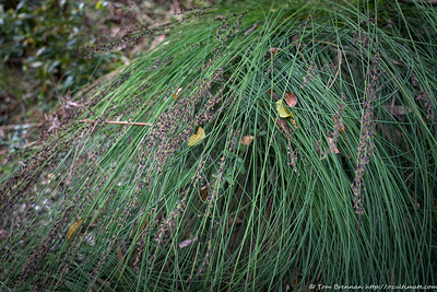 Unknown (Schoenus melanostachys??), Flat Rock Drive, Northbridge