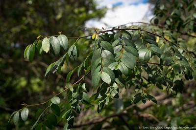 Breynia oblongifolia, Flat Rock Drive, Northbridge