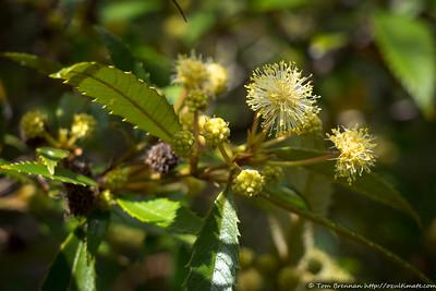 Callicoma serratifolia, Flat Rock Drive, Northbridge