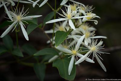 Clematis glycinoides (male plant), Flat Rock Drive, Northbridge