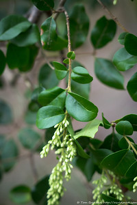 Narrow-leaf Privet (weed), Flat Rock Drive, Northbridge